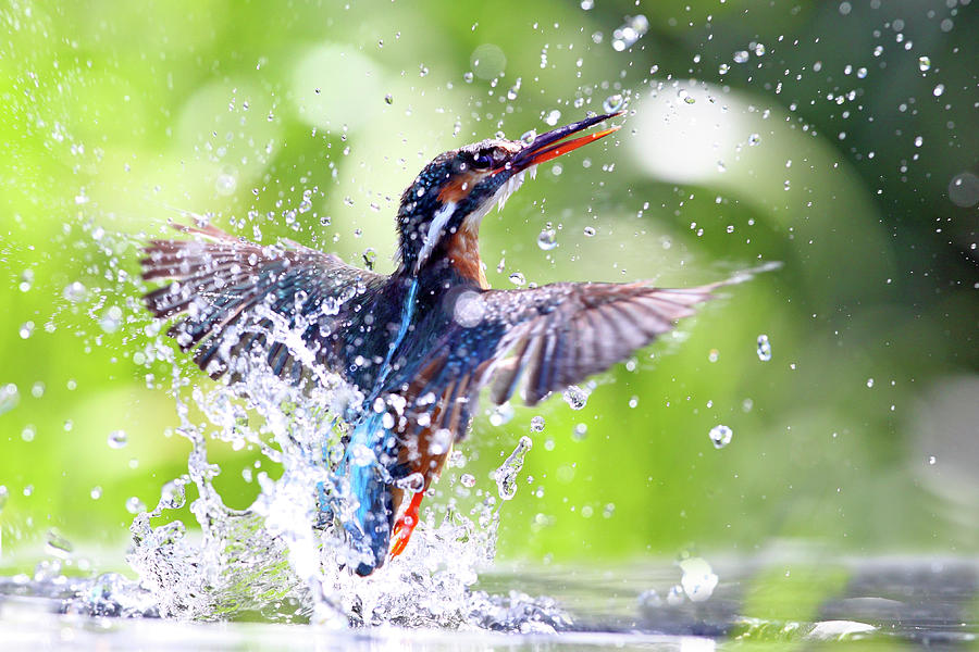Kingfisher Emerging Out Of Water Photograph by Mark Medcalf
