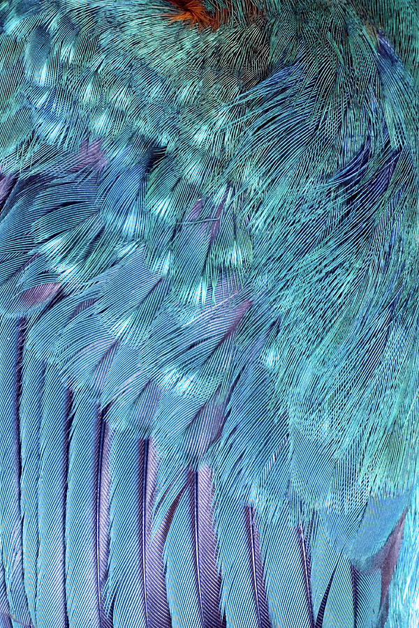 Kingfisher Photograph - Kingfisher Wing Feathers by John Devries/science Photo Library