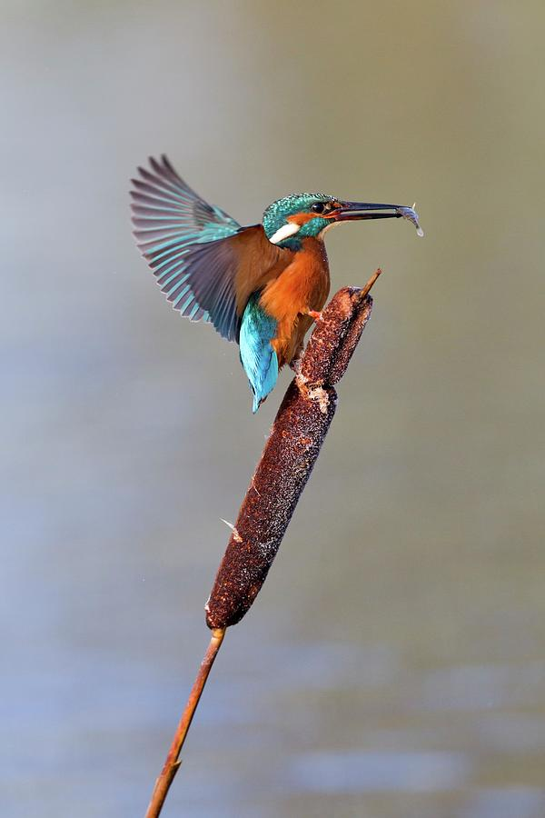 Common Kingfisher Photograph - Kingfisher With Fish by John Devries/science Photo Library