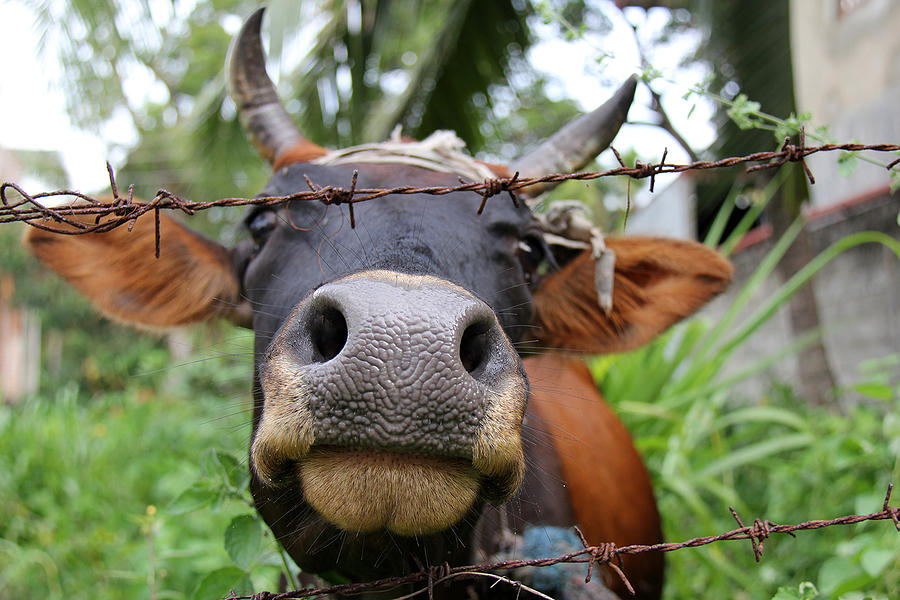 Cow Photograph - Kiss Me by Sanjeewa Marasinghe