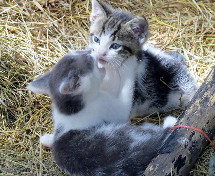 Kittens Playing Photograph - Kiss Me You Fool by Diane Mitchell