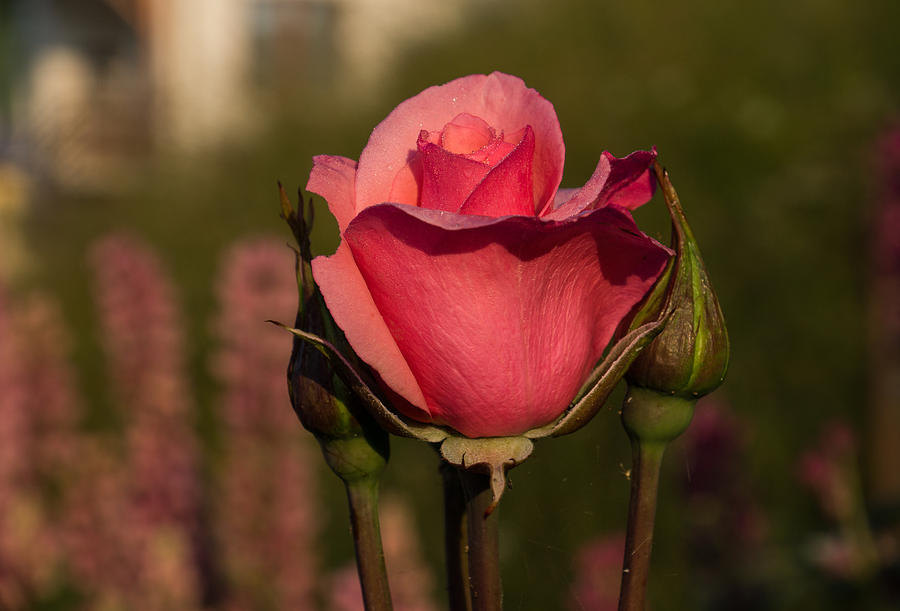 Pink Rose Photograph - Kissed By The Sun by Georgia Mizuleva