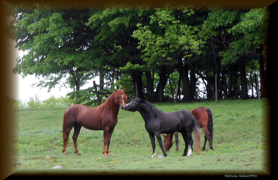 Stallions Photograph - Kissing Cousins- The Paso Fino Stallions by Patricia Keller