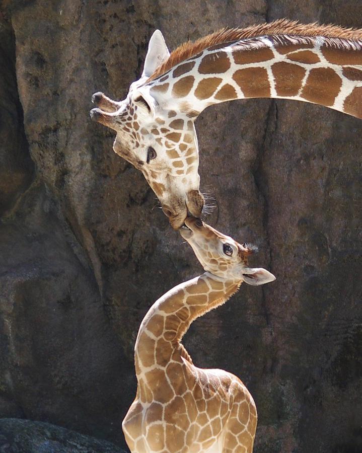Love Photograph - Kissing Giraffes by Jf Halbrooks