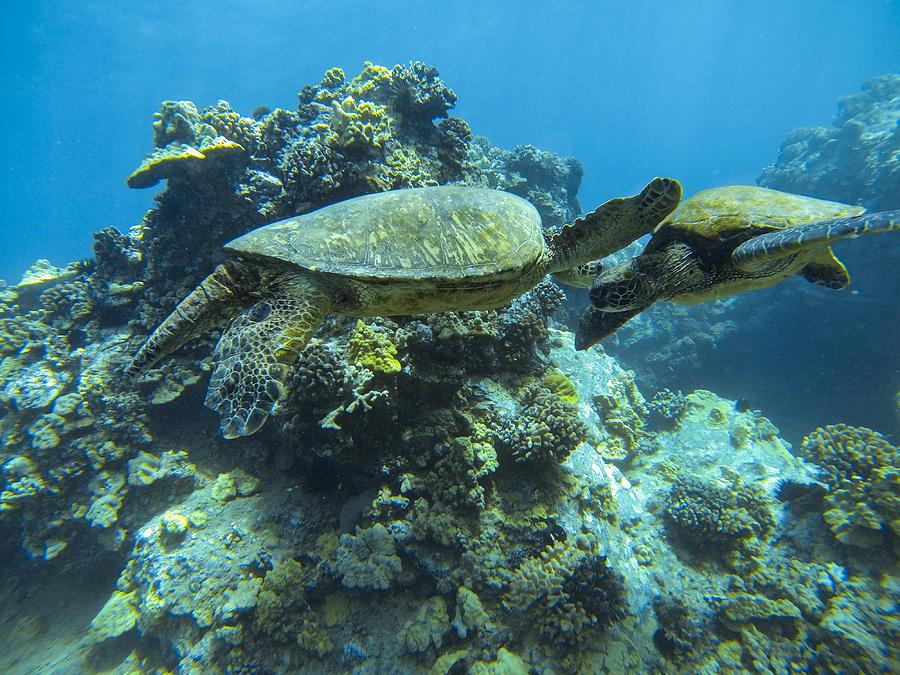 Turtles Photograph - Kissing Honus by Brad Scott