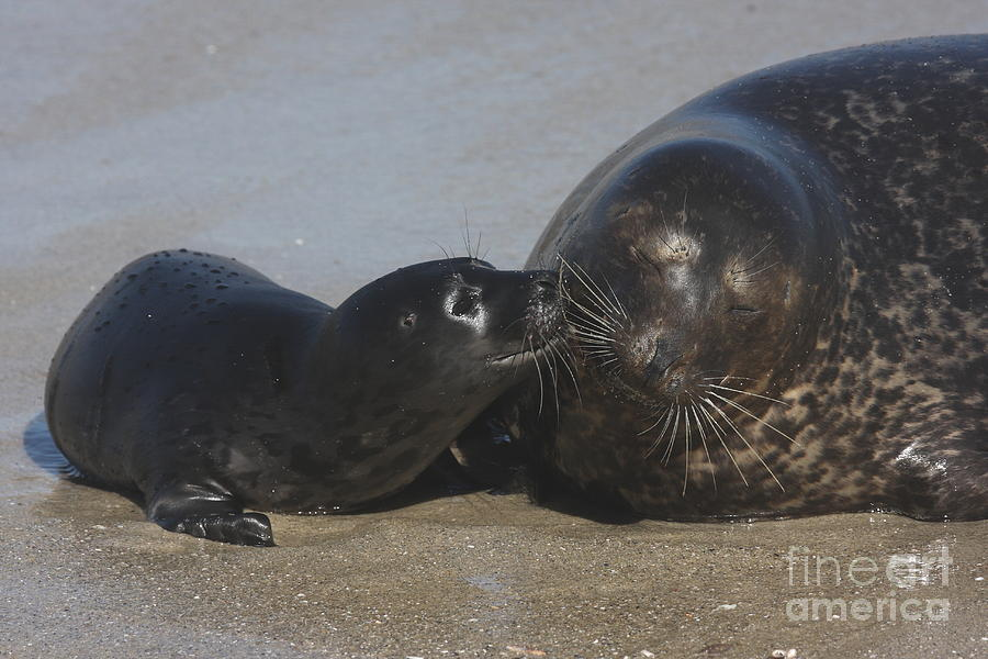 Mother Seal Photograph - Kissing Seals by Ruth Jolly