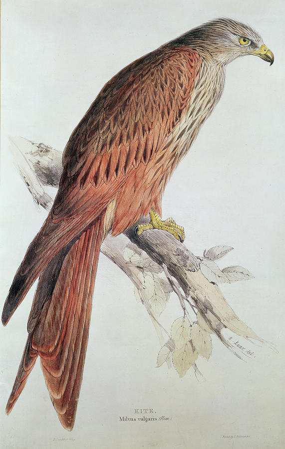 Birds Painting - Kite by Edward Lear