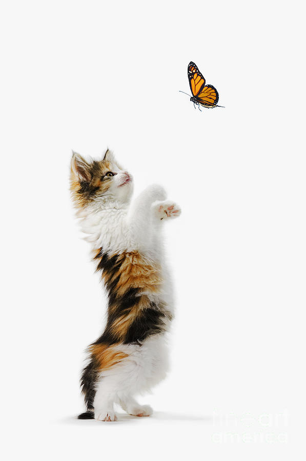 Active Photograph - Kitten And Monarch Butterfly by Wave Royalty Free