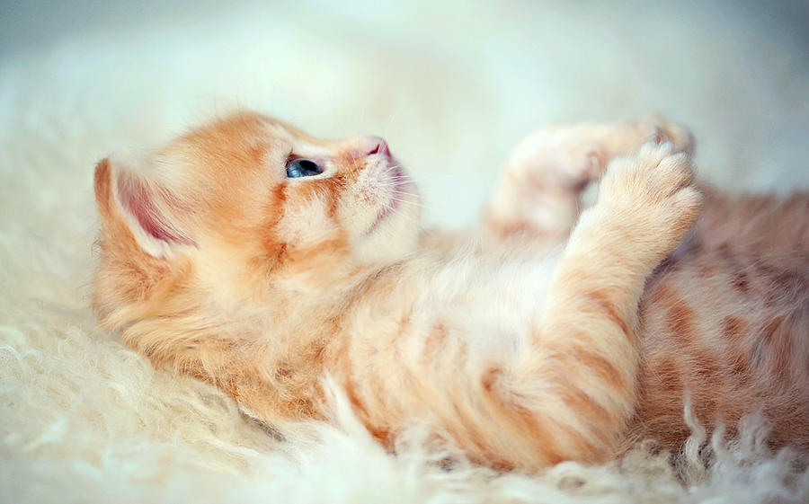 Pets Photograph - Kitten Lying On Its Back by Susan.k.