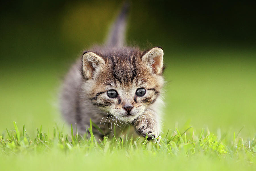 Kitten Sneaking Up Photograph by Kim Partridge/partridge-petpics