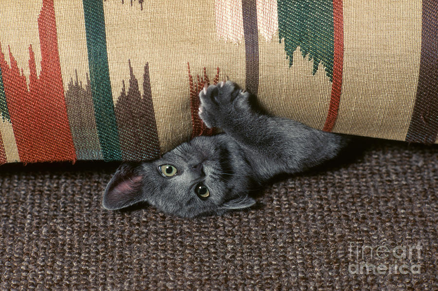Kitten Photograph - Kitten Under Couch by James L. Amos