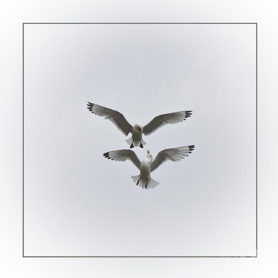 Kittiwakes Dancing In The Air Photograph