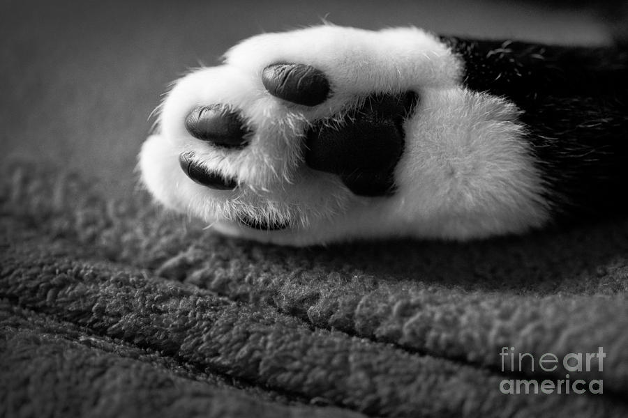 Black And White Photograph - Kitty Paw Close Up by Sharon Dominick