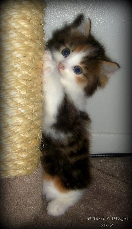 Kitten Photograph - Kitty Scratch by Terri K Designs