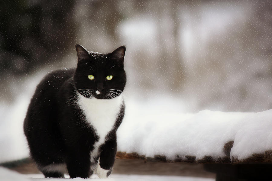 Snow Photograph - Kitty Snow Play by Melanie Lankford Photography