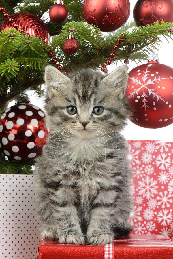 Xmas Photograph - Kitty Xmas Present by MGL Meiklejohn Graphics Licensing