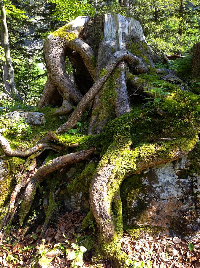 Tree Stump Photograph - Knarly Old Tree Stump Switzerland by PIXELS  XPOSED Ralph A Ledergerber Photography
