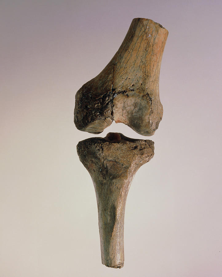 Bones Photograph - Knee Joint Of Australopithecus Afarensis by John Reader/science Photo Library