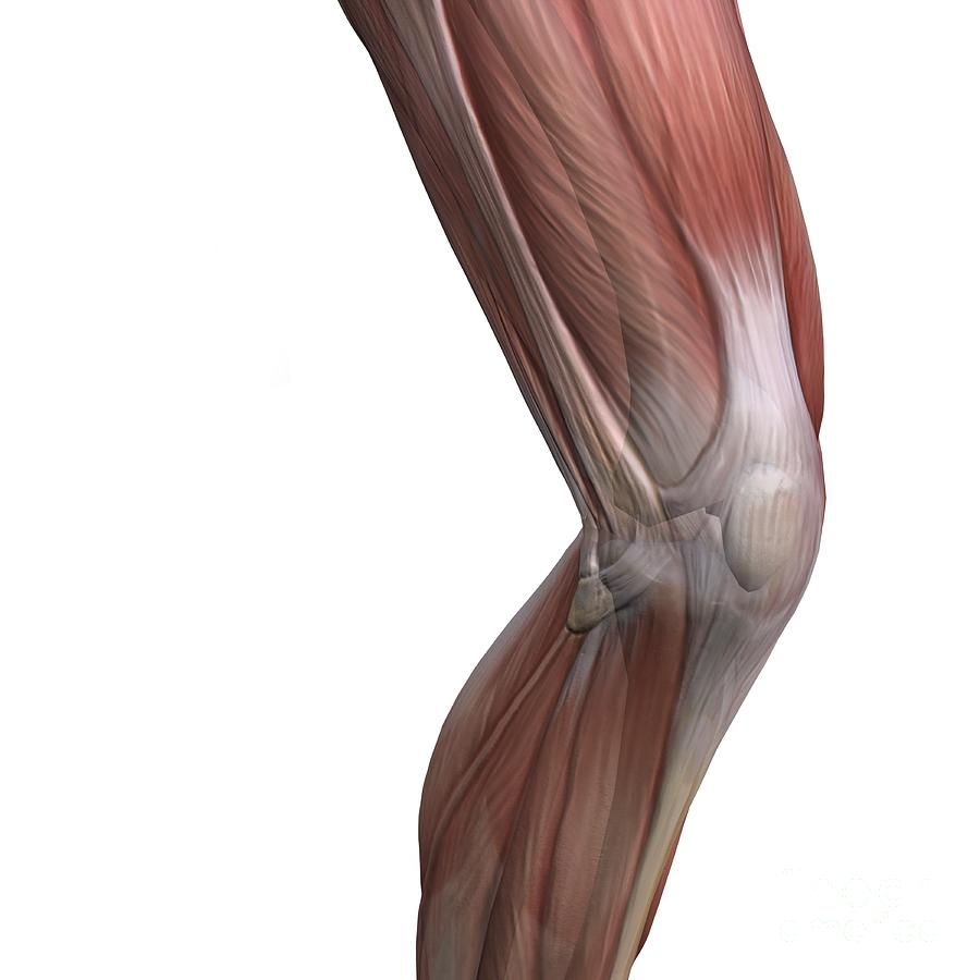 Knee Muscles And Bones Artwork Photograph By D L Graphics