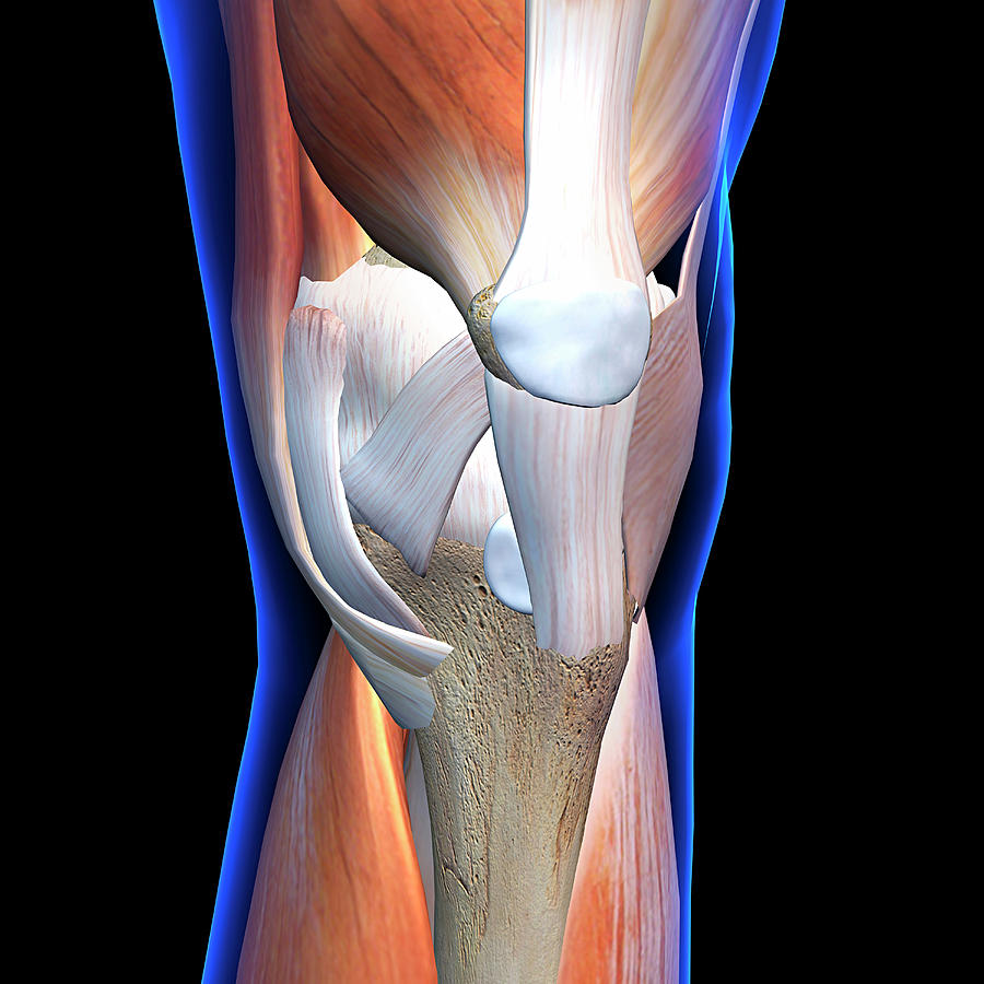 Knee Muscles And Ligaments, Anterior Photograph by Hank Grebe