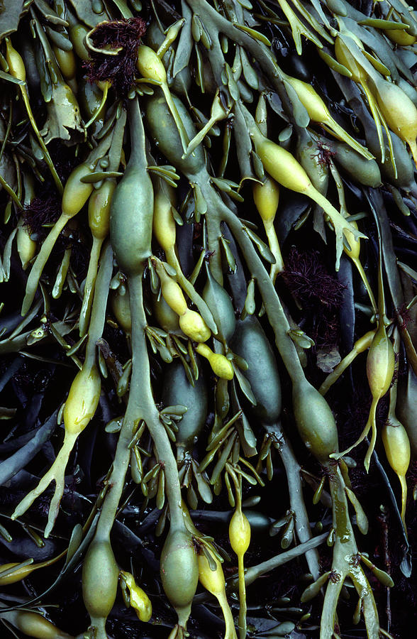 Seaweed Photograph - Knotted Or Egg-wrack by Nigel Downer