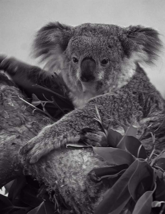 Koala Digital Art - Koala by Chris Flees