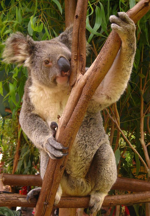 Koala Photograph - Koala  by Laura Hiesinger
