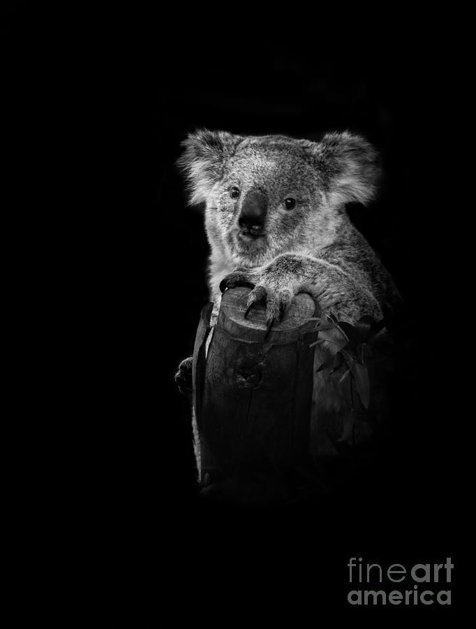 Animals photograph koala portrait by robert bales