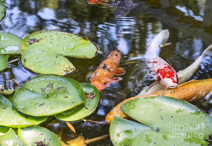 Koi Fish Photograph - Koi And Lily Pad by Jamie Pham