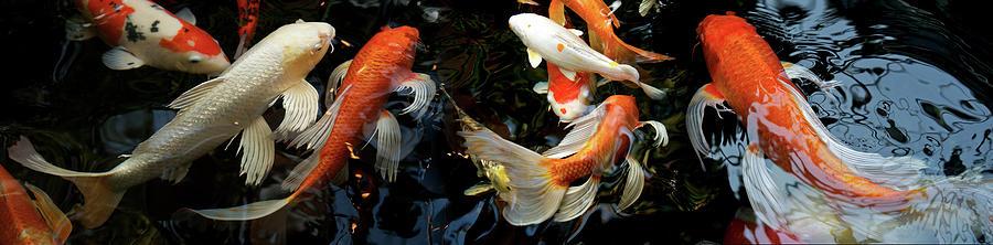 Horizontal Photograph - Koi Carp Swimming Underwater by Animal Images