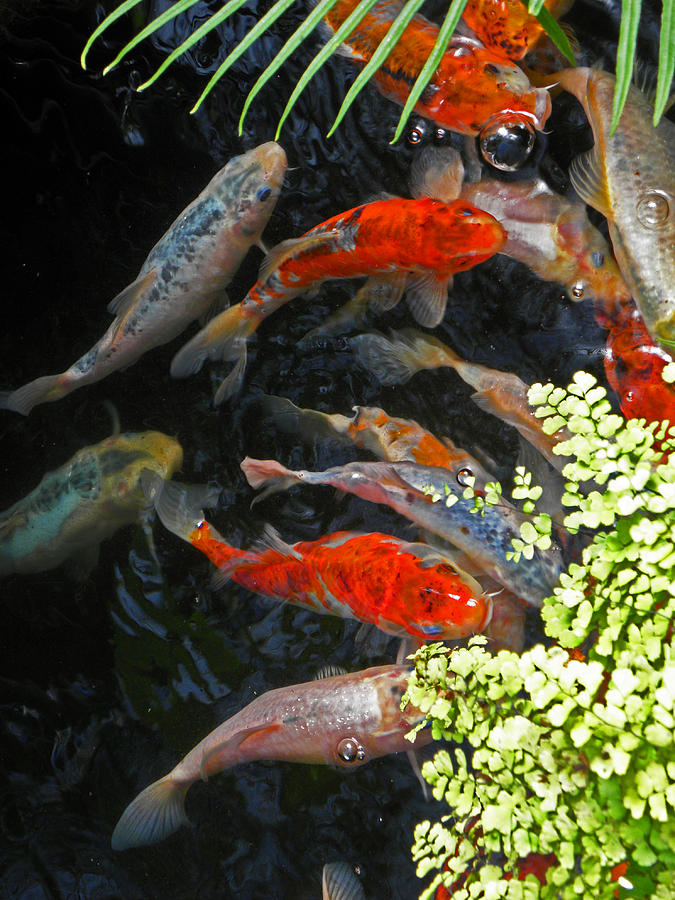 Fish Photograph - Koi Fish I by Elizabeth Hoskinson