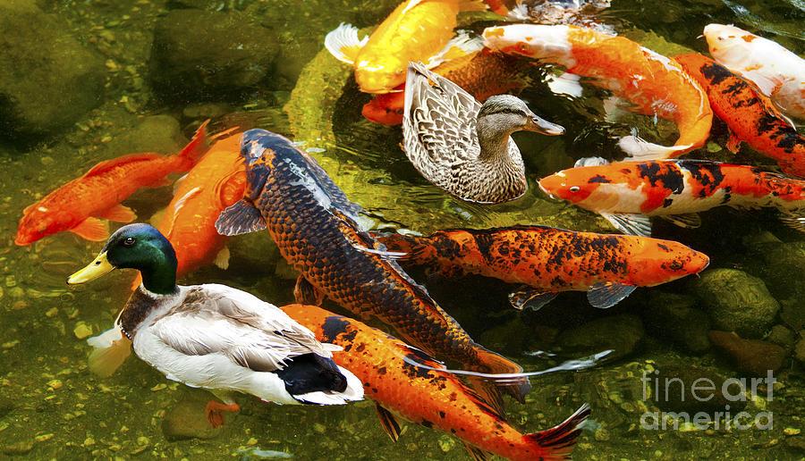 Koi fish in pond swimming with two mallard ducks for American koi fish