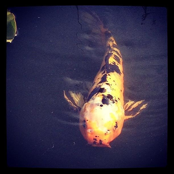 Koi Photograph - #koi #fish by Jan Pan