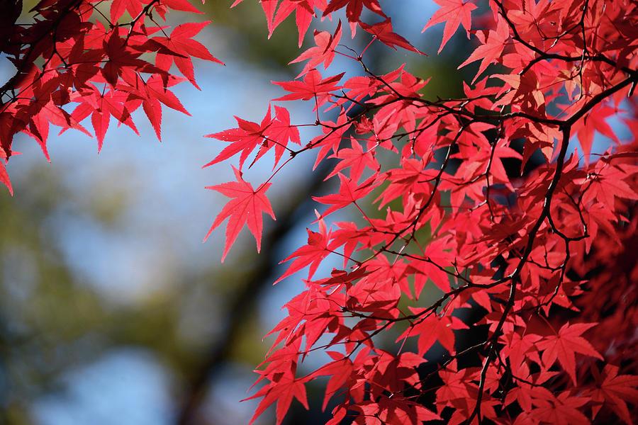 Koyo Leaves In Kyoto, Japan Photograph by Daniel Chui