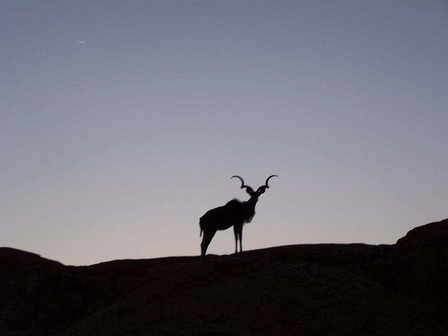 Kudu Photograph - Kudu Silhouette At Nightfall by Noreen HaCohen