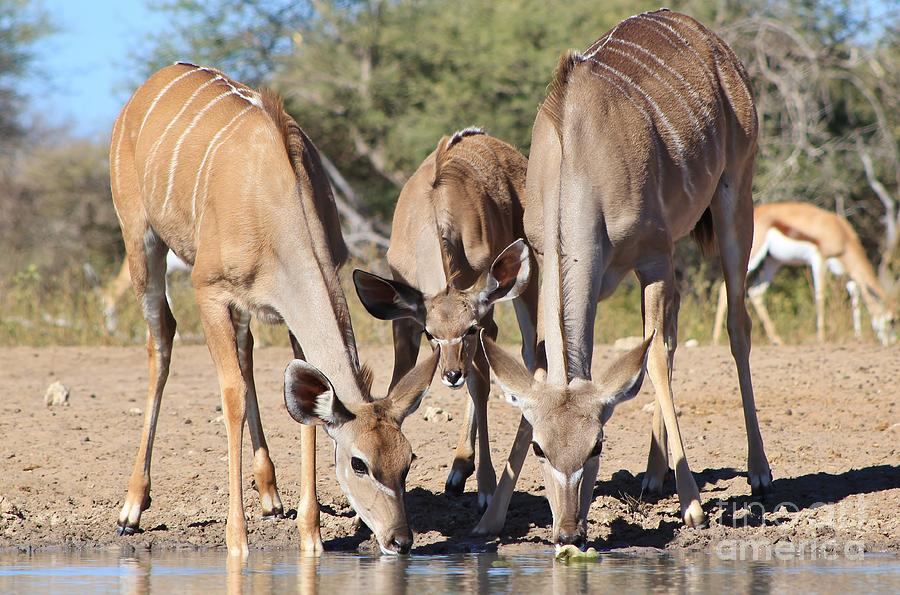 Kudu Trio Of Beauty Photograph