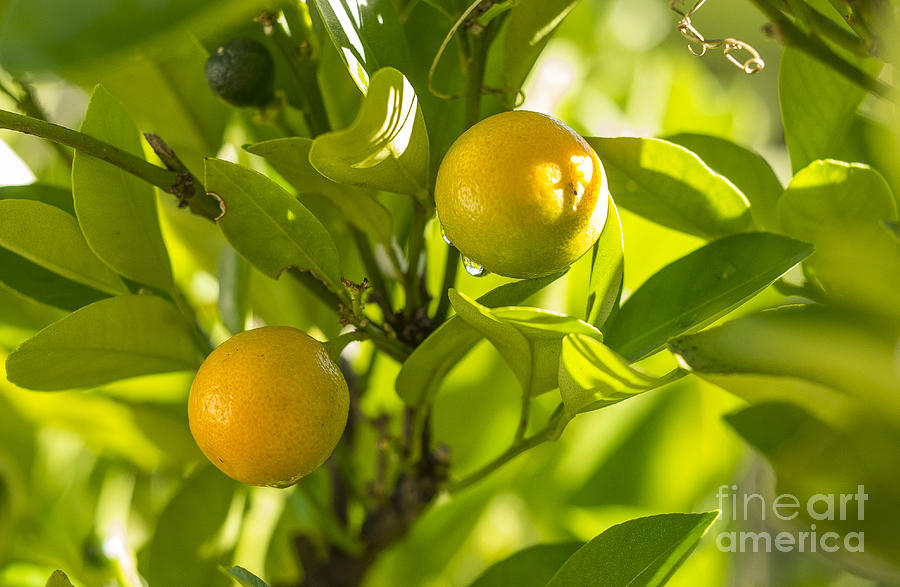 Kumquats Photograph by Steven Ralser