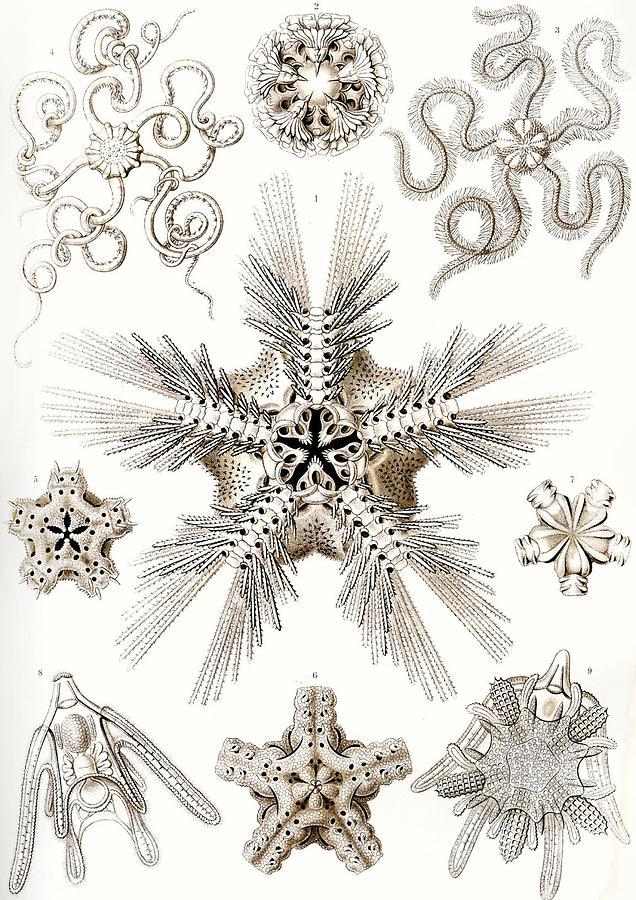 Vertical Painting - Kunstformen Der Natur by Ernst Haeckel