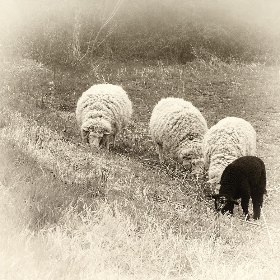 Sheep Photograph - La Famiglia by Darlene Kwiatkowski