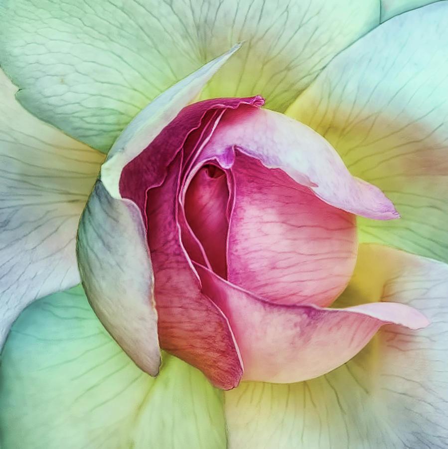 Flower Photograph - La Vie En Rose by Piet Flour