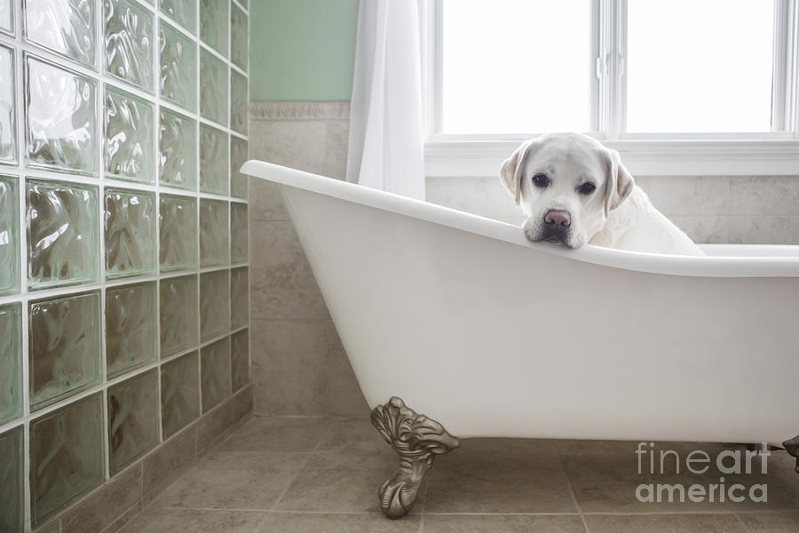 Dog Photograph - Lab In A Bathtub by Diane Diederich
