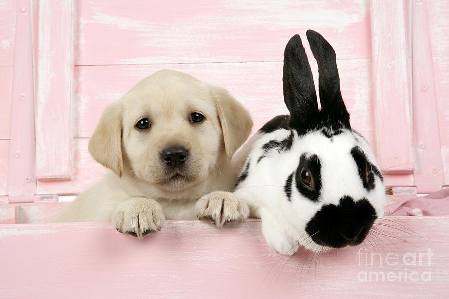 Labrador Retriever Photograph - Lab Puppy And Bunny by John Daniels