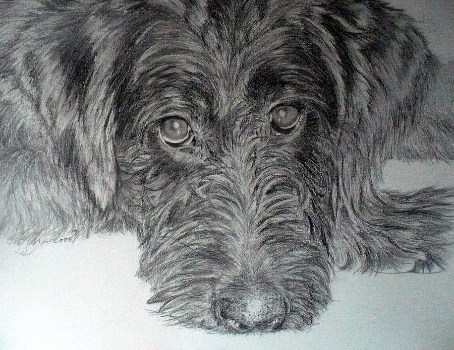 Dog Portraits Drawing - Labradoodle by Skyrah J Kelly