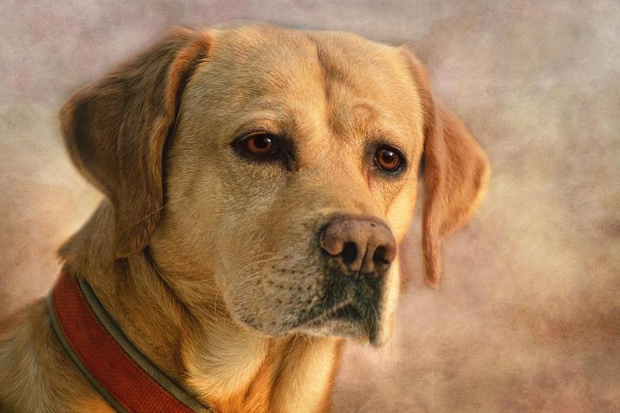 Labrador Photograph