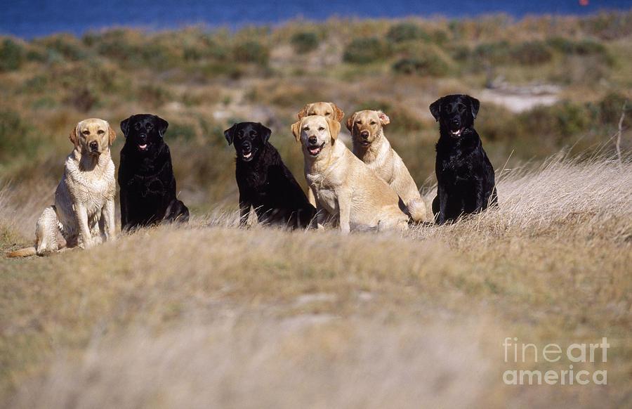 Labrador Retriever Photograph - Labrador Dogs Waiting For Orders by Chris Harvey