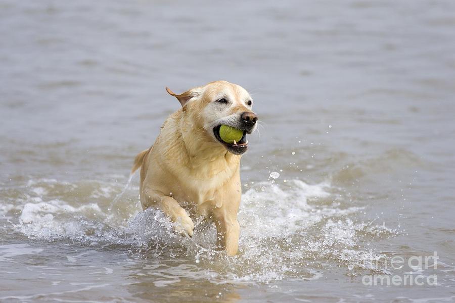 Labrador Cross Photograph - Labrador-mix Retrieving Ball by Geoff du Feu