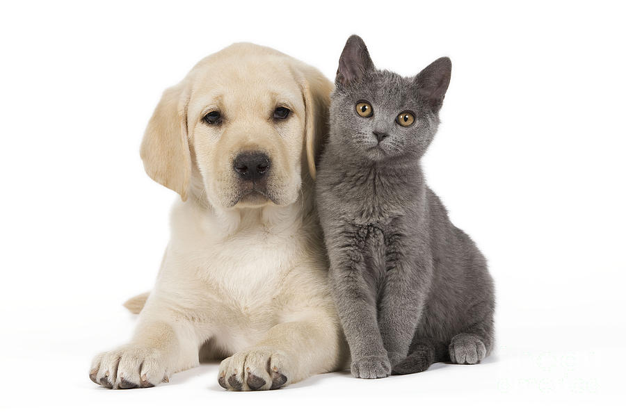 Labrador Retriever Photograph - Labrador Puppy With Chartreux Kitten by Jean-Michel Labat
