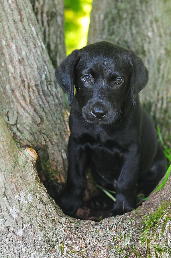 Black Lab Photograph - Labrador Retriever Puppy by Catherine Reusch Daley