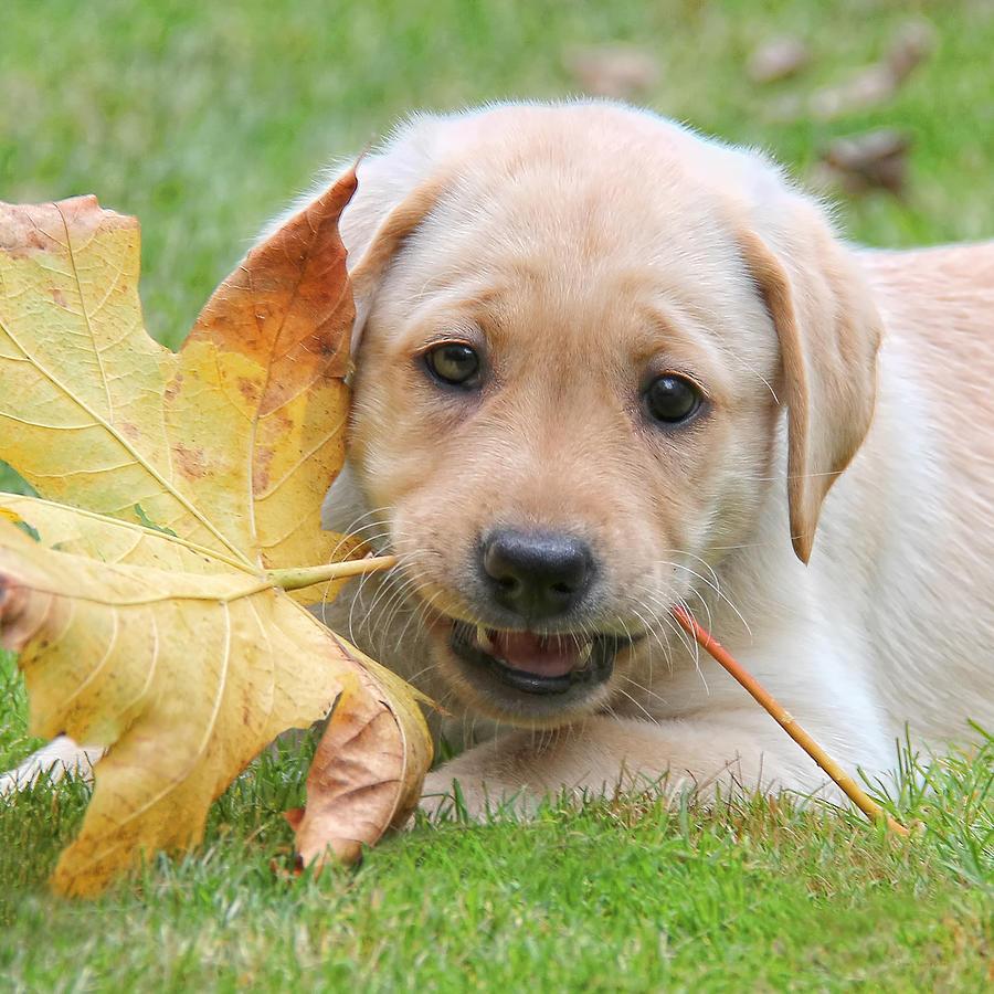 Puppy Photograph - Labrador Retriever Puppy With Autumn Leaf by Jennie Marie Schell