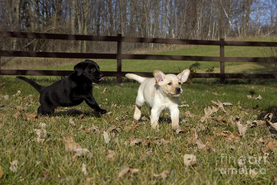 Lab Photograph - Labrador Retriever Pups by Linda Freshwaters Arndt